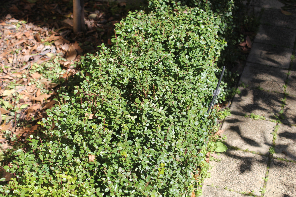 how to make buxus grow faster